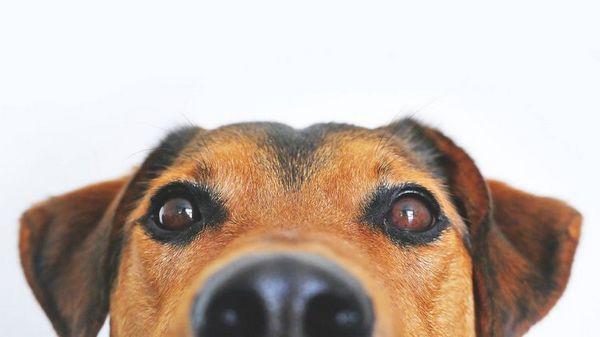 пес підглядає