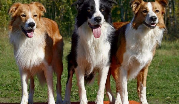 пастуші собаки
