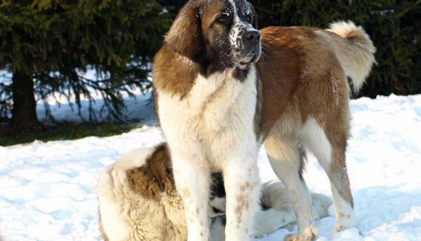 сторожові собаки