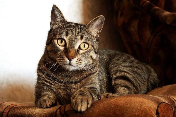 Смугаста кішка сидить на дивані