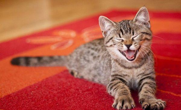 Позбавляємося від запаху котячої сечі з килима