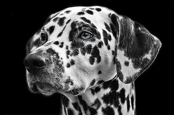 Японски прякори за кучета: момчета и момичета