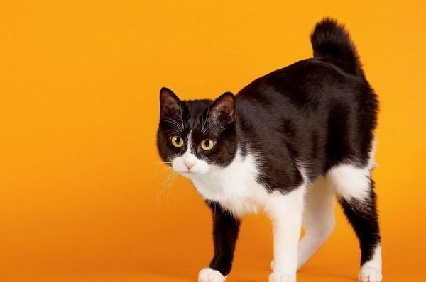 Японски породи котки и котки