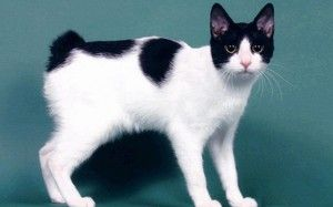 Japonský bobtail: vlastnosti plemena mačiek, starostlivosť, ceny