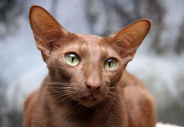 Яванска (яванска котка)