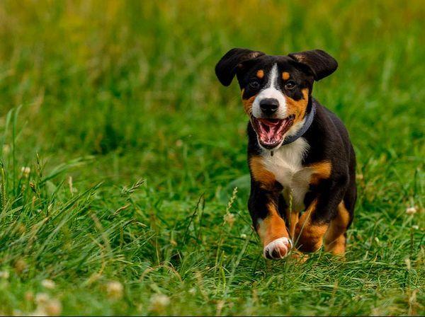 Ентлебухер зенненхунд щеня