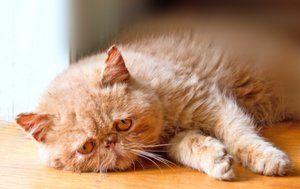 Epilepsia u mačiek: čo robiť, ako zastaviť záchvaty, ako liečiť