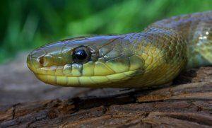 Ескулапска змия: как изглежда, къде се среща, опасно ли е за хората