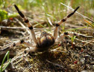 Южна руска тарантула: как изглежда, къде живее, с какво да се храни у дома