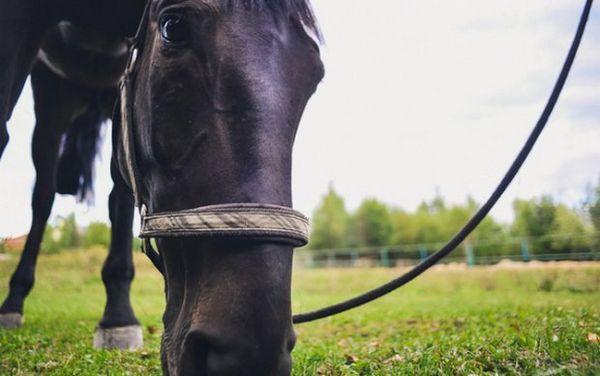Кабардинская кінь їсть