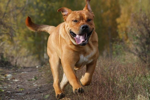бичача собака