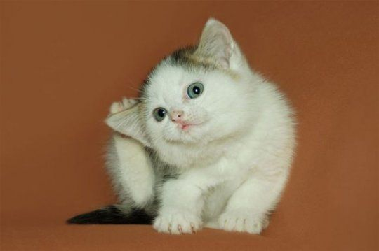 Кошеня з блохами