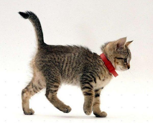 Кошеня в нашийнику від бліх