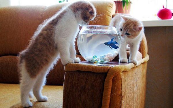 Два кошеня і акваріум