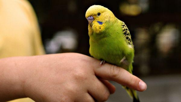 Хвилясті папуги вважаються балакучими