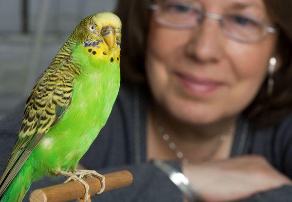 Вчити хвилястого папужки повинен обов`язково тільки одна людина