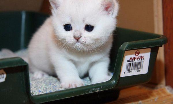 Як швидко привчити кота до лотка