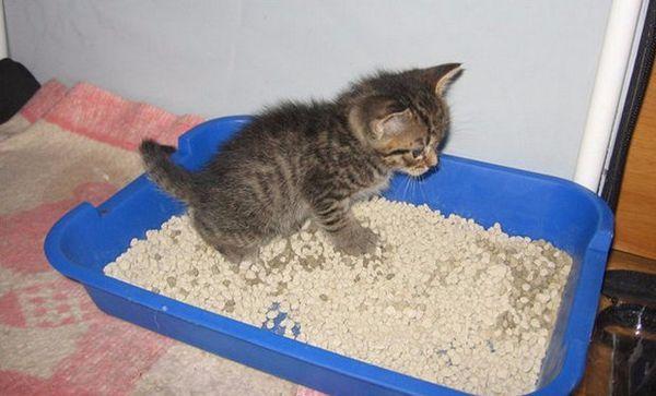 як привчити кота до лотка