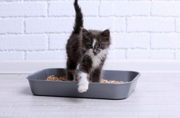 Починайте привчати кошеня до лотка в віці в 1-1,5 місяця
