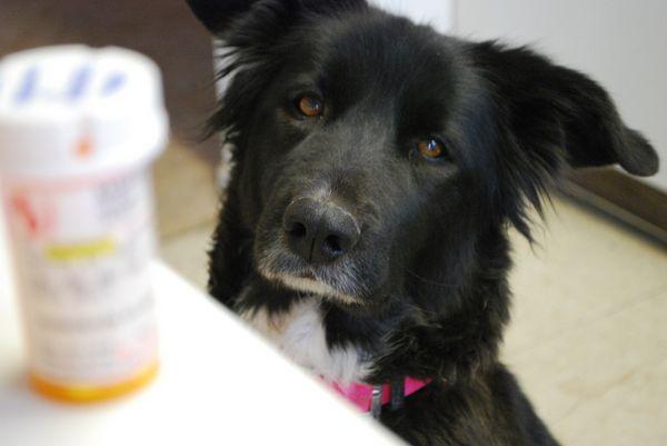Собака дивиться на баночку таблеток