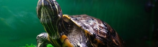 Ako dlho žijú korytnačky červené?