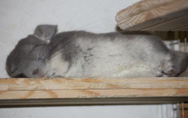 шиншила спить