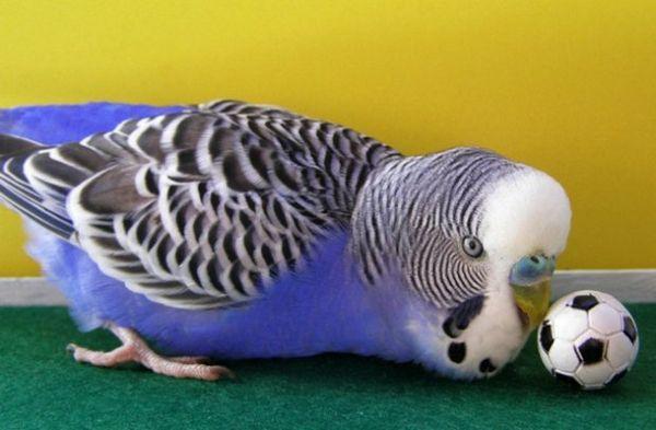 дресирування папуги