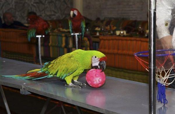 папуга
