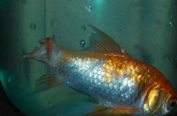 Плавникова гниль у золотої рибки