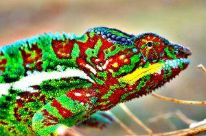 Как и поради какво хамелеоните променят цвета си