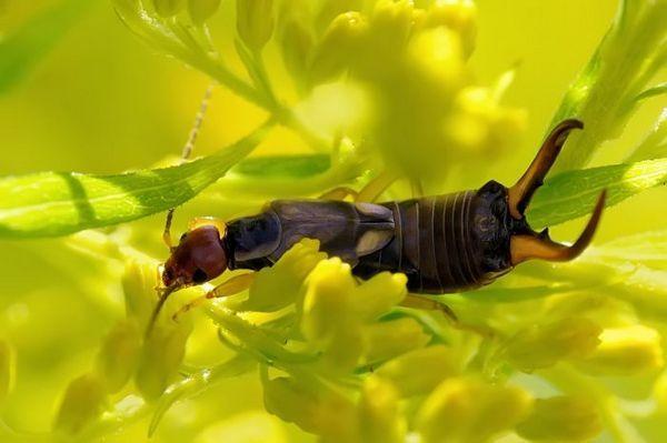 Щипавки на рослині