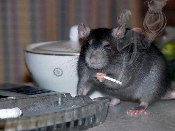 Ako sa zbaviť potkanov: najefektívnejšie metódy