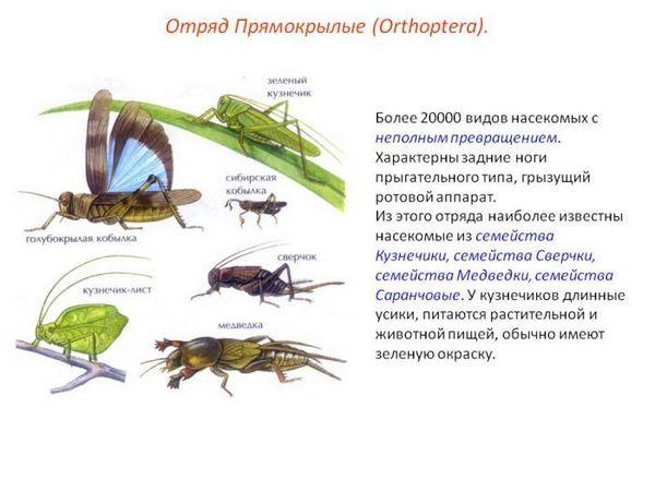 Ako sa zbaviť cvrčkov v záhrade, v dome a v byte