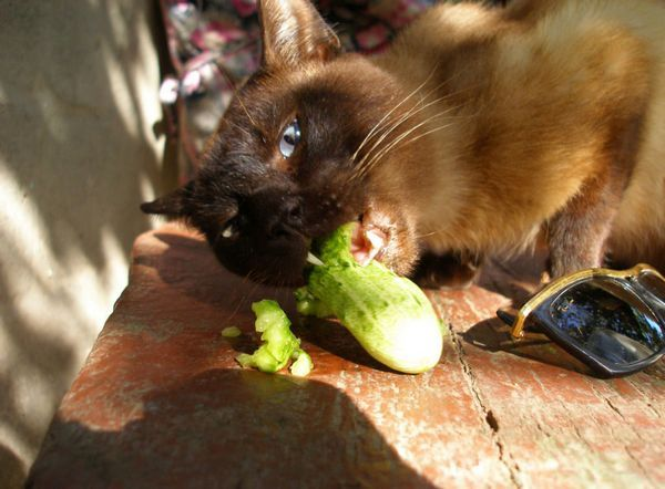 Кішка їсть огірок