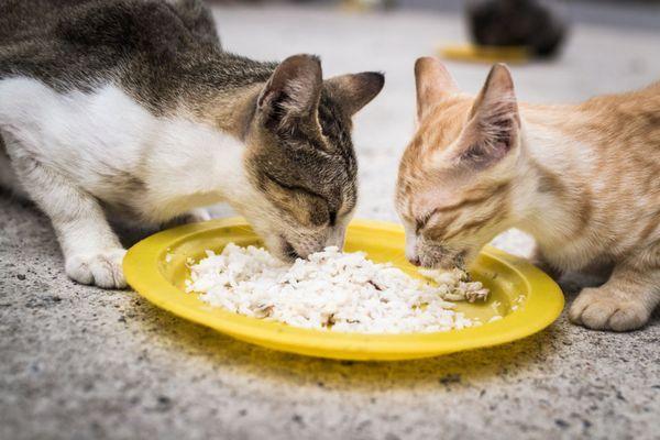 Коти їдять кашу