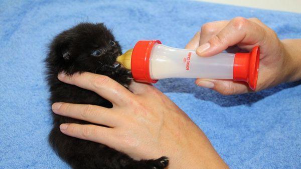 Як і для всіх дитинчат, кошенятам вкрай важливий тактильний контакт з кимось більшим і живим і теплим