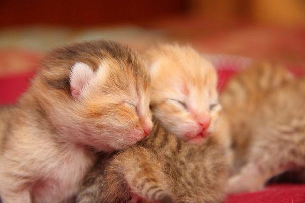 Перший тиждень життя після народження кошеня називаються неонатальним періодом