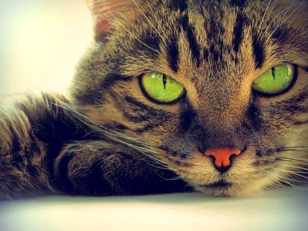 Кішка з звуженими зіницями