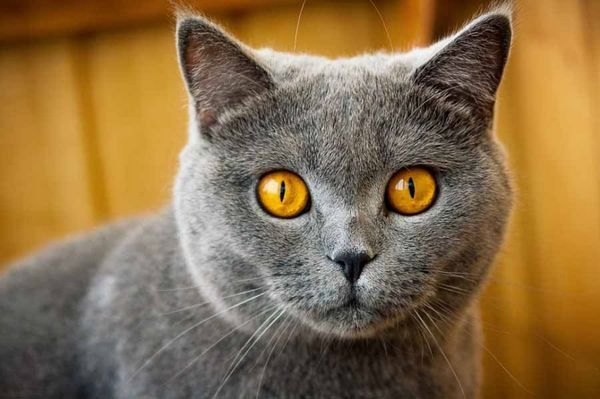 Кішка з помаранчевими очима