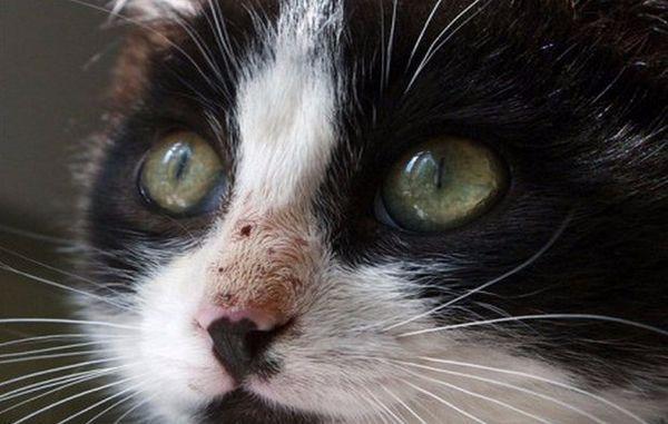 Кадьцівіроз у кішок