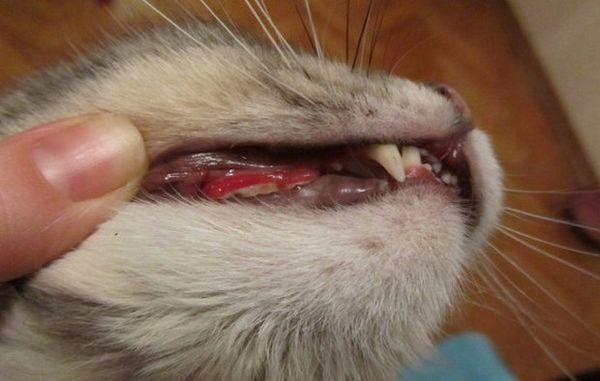 Кальцівіроз у кішок