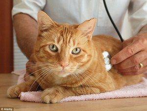 Кішка в клініці у ветеринара