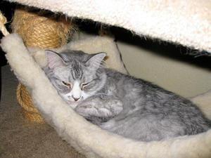 Піометра у кішки