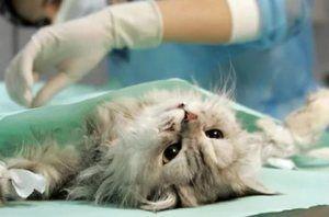 Стерилізація кішки в клініці