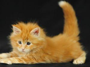 Яке ім`я вибрати для кошеня хлопчика, якщо він рудого кольору?