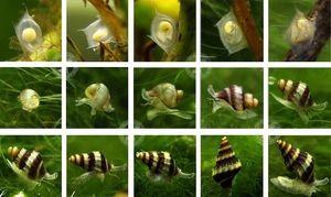 Як розмножується равлик в акваріумі