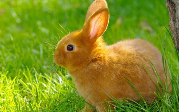 рудий кролик