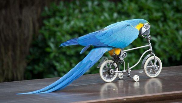 Папуга на велосипеді