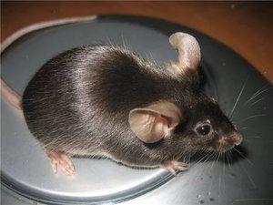 Ako sa myši lepšie stravovať, existuje celý rad divých a domácich myší