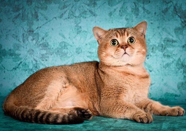 Кішка з розплідника